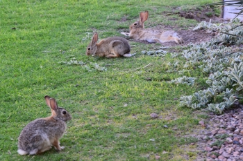 Desert Cottontail rabbits