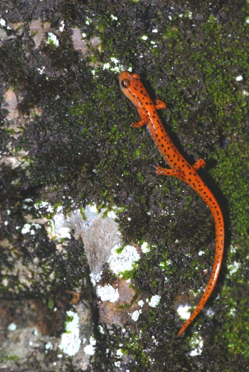 New populations of the state-endangered cave salamander have been recorded near LM's Fernald Preserve, Ohio, Site.