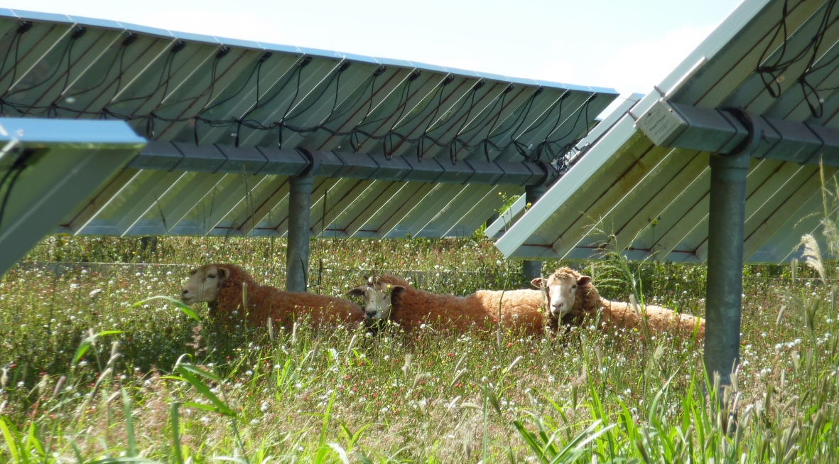 Lanai solar farm sheep