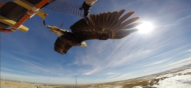 Eagles are Making Wind Turbines Safer for Birds