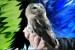 A Northern Saw-Whet Owl is captured for banding during the banding demonstration  at the Fernald Preserve in Ohio in November