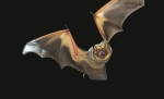 Close-up photo of a bat in flight.