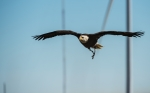 An eagle flies near turbines at the National Wind Technology Center