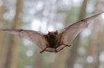 Brown bat with its wings spread, flying.