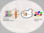 A genome-wide CRISPRCas9- & homology-directed-repair-assisted genome-scale engineering library can be synthesized, cloned, & delivered to yeast cells.The resulting yeast mutant library can be used for high-throughput screening of microbial cell factories.