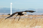 A bald eagle flying over a field in front of a wind turbine.