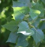 Emerging poplar leaves in spring.