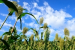 Through a $2.7 million grant from the U.S. Department of Energy, a University of Nebraska–Lincoln research team is developing ways to maximize sorghum potentials across the United States.