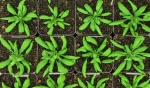While the wild-type plant of Arabidopsis is large and healthy, the one with a mutation that keeps it from making a specific lipid is small and sick. Christoph Benning and his team have spent more than a decade understanding how plants make this lipid.