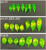 Leaves of the Arabidopsis plant showing the activity of the ANGUSTIFOLIA (AN) plant gene in response to the pathogen, P. syringae. The coloration indicates the severity of the disease.