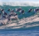 Dolphins jumping out of waves.