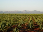Agave sisilana growing in East Africa. Image courtesy of Jeff Cameron.