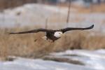 Spirit, a 20-year-old bald eagle, flies at the National Wind Technology Center in Boulder, Colorado.   <em>Photo by Lee Jay Fingersh/NREL</em>