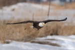 Spirit, a 20-year-old bald eagle, flies at the National Wind Technology Center in Boulder, Colorado. | <em>Photo by Lee Jay Fingersh/NREL</em>