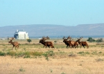 A herd of elk pass through the Hanford Site's 100-H Area, where revegetation work was recently completed.