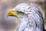 Bald eagles are one of the many migratory birds that nest on the Oak Ridge Reservation.