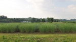 Loosening of Lignocellulose: Switchgrass and Success in Sugar Release
