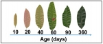 Remotely Predicting Leaf Age in Tropical Forests