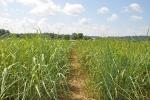 Modified Switchgrass Has No Negative Effect on Soils