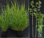 Rewriting Resistance: Genetic Changes Increase Crops' Biomass and Sugar Release