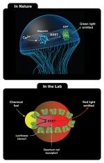 Hybrid Material Glows Like Jellyfish