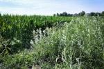 shrub willow, a bioenergy crop