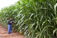 A Ceres researcher evaluates the performance of biofuel crops. | Photo courtesy of Ceres, Inc.